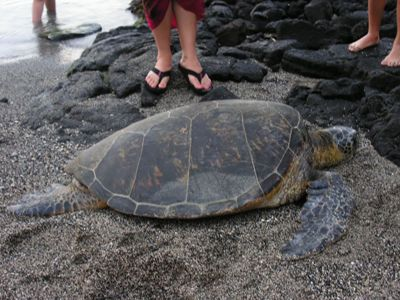 a photo of feet on black sand beach with a sea turtle